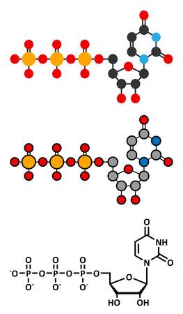 triphosphate: Uridine triphosphate (UTP) nucleotide molecule. Building block of RNA. Stylized 2D renderings and conventional skeletal formula.