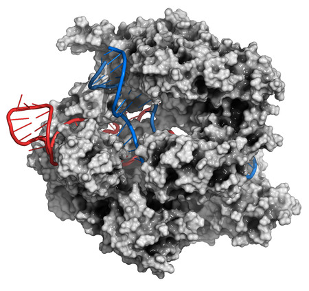 rna: CRISPR-CAS9 gene editing complex from Streptococcus pyogenes. The Cas9 nuclease protein uses a guide RNA sequence to cut DNA at a complementary site. Cas9 protein: white surface model. DNA fragments: blue ladder cartoon. RNA: red ladder cartoon.