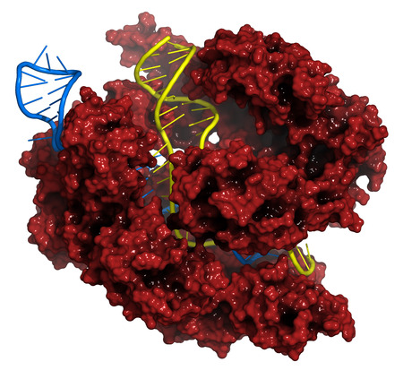 CRISPR-CAS9 gene editing complex from Streptococcus pyogenes. The Cas9 nuclease protein uses a guide RNA sequence to cut DNA at a complementary site. Cas9 protein: red surface model. DNA fragments: yellow ladder cartoon. RNA: blue ladder cartoon.