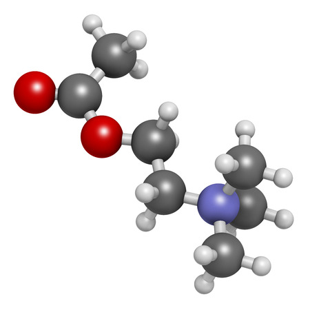 neurotransmitter: Acetylchloline (ACh) neurotransmitter molecule. Atoms are represented as spheres with conventional color coding: hydrogen (white), carbon (grey), oxygen (red), nitrogen (blue).