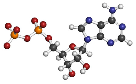 monophosphate: Adenosine diphosphate (ADP) molecule. Plays essential role in energy use and storage in the cell. Atoms are represented as spheres with conventional color coding: hydrogen (white), carbon (grey), oxygen (red), nitrogen (blue), phosphorus (orange). Stock Photo