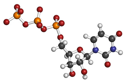 monophosphate: Uridine triphosphate (UTP) nucleotide molecule. Building block of RNA. Atoms are represented as spheres with conventional color coding: hydrogen (white), carbon (grey), oxygen (red), nitrogen (blue), phosphorus (orange).