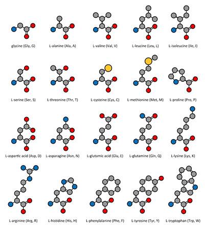 Amino acids, chemical structures: glycine, alanine, valine, leucine, isoleucine, serine, threonine, cysteine, methionine, proline, aspartic acid, asparagine, glutamic acid, glutamine, lysine, arginine, histidine, phenylalanine, tyrosine and tryptophan. At Vector