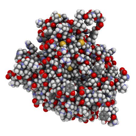 Caspase 3 apoptose-eiwit. Enzym dat belangrijke rol in geprogrammeerde celdood speelt. Atomen weergegeven als kleurcode bollen. Stockfoto
