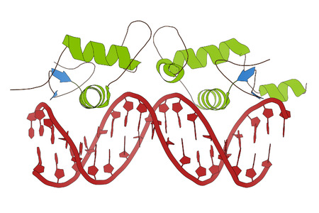 receptor: Glucocorticoid receptor, DNA binding domain bound to a DNA double strand. Cartoon model, secondary structure coloring: alpha-helices green, beta sheets blue, DNA red. Stock Photo