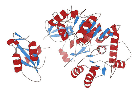 genetic engineering: Firefly luciferase enzyme. Protein responsible for the bioluminescence of fireflies. Often used as reporter in biotechnology and genetic engineering. Cartoon model, secondary structure coloring: alpha-helices red, beta sheets blue.