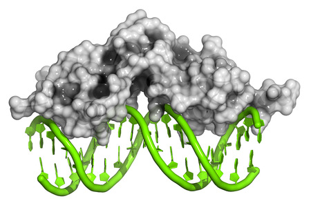 gr: Glucocorticoid receptor, DNA binding domain bound to a DNA double strand. Protein: Cartoon model + semi-transparent surface. DNA: cartoon model.
