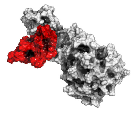 pancreatic: Human pancreatic lipase (HPL) enzyme, in complex with colipase. Performs first steps in the digestion of triglycerides (fat, oil) in the duodenum. Cartoon model + semi-transparent surface. Colipase colored red, lipase colored grey. Stock Photo
