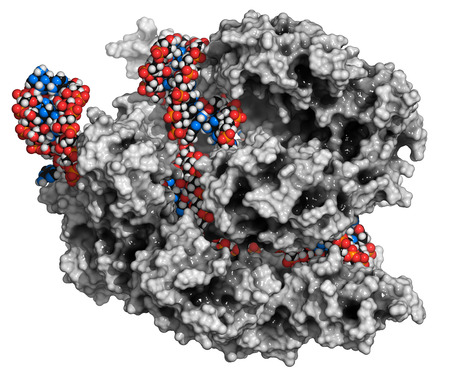 rna: CRISPR-CAS9 gene editing complex from Streptococcus pyogenes. The Cas9 nuclease protein uses a guide RNA sequence to cut DNA at a complementary site. Cas9 protein: white surface model. DNA and RNA fragments: conventionally color-coded spheres. Stock Photo