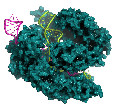 CRISPR-CAS9 gene editing complex from Streptococcus pyogenes. The Cas9 nuclease protein uses a guide RNA sequence to cut DNA at a complementary site. Cas9 protein: teal surface model. DNA fragments: lime ladder cartoon. RNA: magenta ladder cartoon.