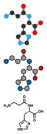 Carnosine molecule. Has antioxidant properties; commonly used in food supplements. Stylized 2D renderings and conventional skeletal formula.