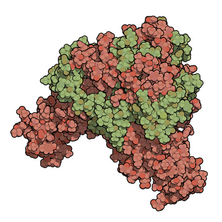 glycoprotein: Ebola virus glycoprotein (GP), molecular structure. Occurs as spikes on ebola virus surface; target for vaccine development. Atoms shown as spheres. Envelope GP1 shaded red, GP 2 shaded green.