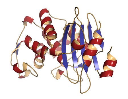 coloring sheets: Beta-lactamase enzyme from Staphylococcus aureus. Responsible for resistance against penicillin and related antibiotics. Cartoon model, secondary structure coloring: alpha-helices red, beta sheets blue.
