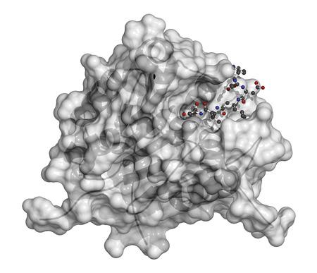 protease: La caspasa 3 prote�na de apoptosis. Enzima que juega un papel importante en la muerte celular programada. �tomos de ligando que se muestran como esferas con c�digos de colores, prote�nas que se muestran como de dibujos animados + superficie semitransparente.
