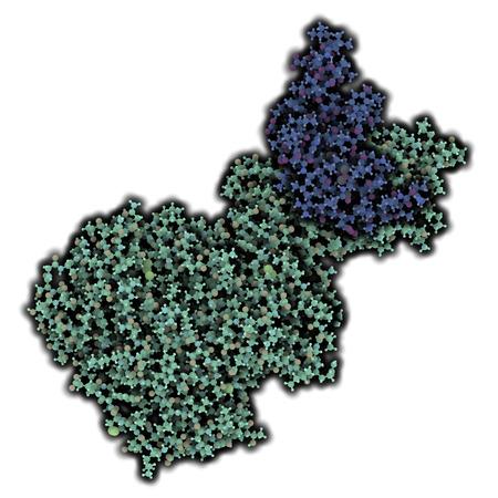 triglycerides: Lipasa pancre�tica (HPL) de la enzima humana, en complejo con colipasa. Realiza primeros pasos en la digesti�n de los triglic�ridos (grasa, aceite) en el duodeno. Los �tomos que se muestran como esferas con c�digos de colores. Colipasa sombra azul, lipasa sombra cian.