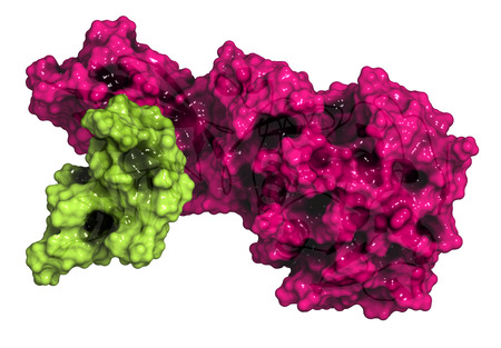 duodenum: Human pancreatic lipase (HPL) enzyme, in complex with colipase. Performs first steps in the digestion of triglycerides (fat, oil) in the duodenum. Cartoon model + semi-transparent surface. Colipase colored green, lipase colored pink.