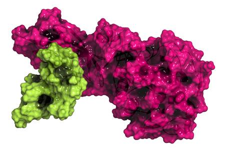 triglycerides: Lipasa pancre�tica (HPL) de la enzima humana, en complejo con colipasa. Realiza primeros pasos en la digesti�n de los triglic�ridos (grasa, aceite) en el duodeno. Modelo de la historieta + superficie semitransparente. Colipasa de color verde, de color rosa lipasa.