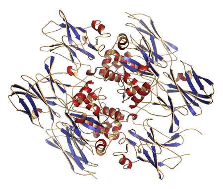 subunits: Coagulation factor XIII (FXIII, A subunits), molecular structure. Crosslinks fibrin after activation to FXIIIa by thrombin. Cartoon model, secondary structure coloring: alpha-helices red, beta sheets blue.