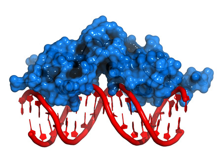 Glucocorticoid receptor, DNA binding domain bound to a DNA double strand. Protein: Cartoon model + semi-transparent surface. DNA: cartoon model.