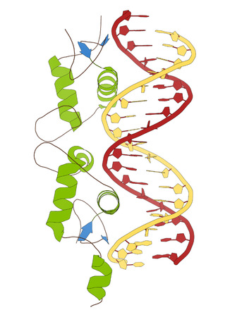 gr: Glucocorticoid receptor, DNA binding domain bound to a DNA double strand. Cartoon model, secondary structure coloring: alpha-helices green, beta sheets blue, DNA redyellow. Stock Photo