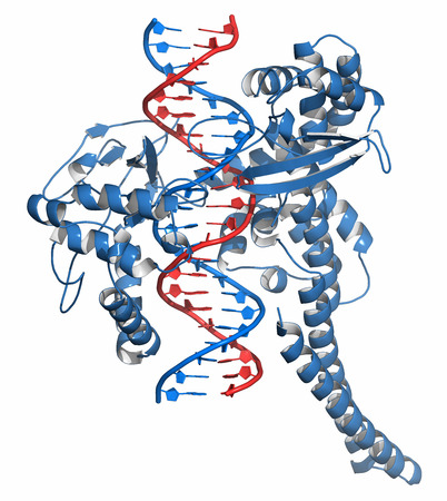 Topoisomerase I (topo I) DNA binding enzyme. Target of a number of chemotherapy drugs used against cancer. Cartoon representation. DNA red-blue; protein blue.