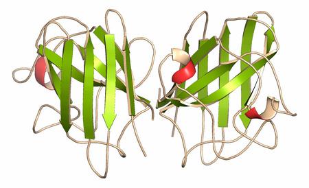 Superoxide dismutase 1 (SOD1) enzym. Converteert superoxide radicaal waterstofperoxide. Genmutaties veroorzaken ALS (amyotrofische laterale sclerose). Cartoon vertegenwoordiging. Secundaire structuur kleuren. Stockfoto