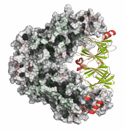 monomer: Peanut allergen Ara h1. Main allergen from peanut (Arachis hypogaea). Cartoon representation (one monomer) combined with semi-transparent surfaces (two monomers of the trimer).