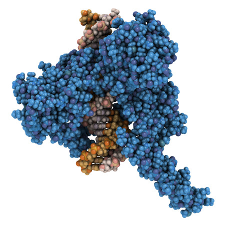 unwound: Topoisomerase I (topo I) DNA binding enzyme. Target of a number of chemotherapy drugs used against cancer. Atoms are represented as color-coded spheres. Protein colored blue. Stock Photo