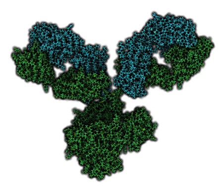epitope: IgG1 monoclonal antibody (immunoglobulin). Many biotech drugs are antibodies. Atoms are shown as color-coded spheres. Light chain shaded cyan, heavy chain green.