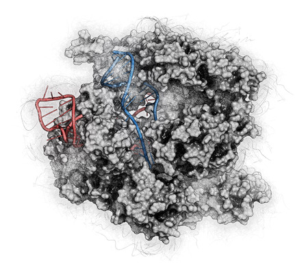 rna: CRISPR-CAS9 gene editing complex from Streptococcus pyogenes. The Cas9 nuclease protein uses a guide RNA sequence to cut DNA at a complementary site. Stylized image. RNA shaded red, DNA blue.
