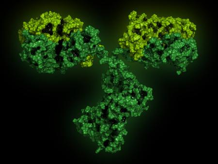 heavy chains: IgG2a monoclonal antibody (immunoglobulin). Many biotech drugs are antibodies. Molecular surface model. Heavy chains colored dark green, light chains light green. Stock Photo