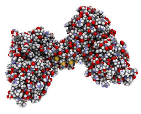 muscular distrofina dominio de proteína (actina N-terminal de dominio de unión). Defectos causan la distrofia muscular de Duchenne (DMD). Los átomos se representan como esferas con codificación de colores convencionales.