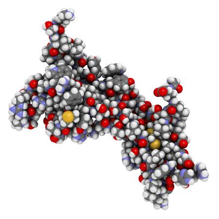 脳由来神経栄養因子 (BDNF) 蛋白質分子。原子は、従来色の球体として表されます。