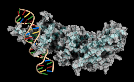 Hypoxia-inducible factor 1 (HIF-1) transcription factor, bound to DNA. Protein: cartoon representation combined with semi-transparent molecular surface. DNA: ladder model.