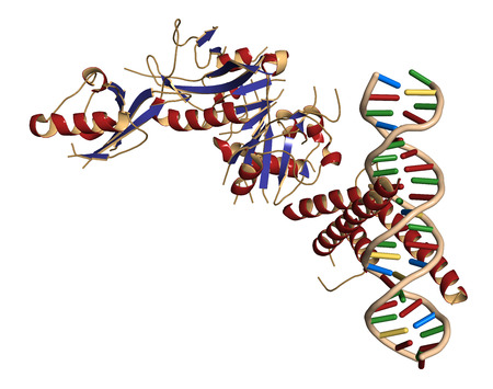 transcription: Hypoxia-inducible factor 1 (HIF-1) transcription factor, bound to DNA. Protein: cartoon representation with secondary structure coloring (blue sheets, red helices). DNA: ladder model.