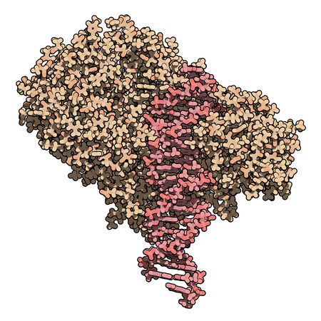 coded: FokI restriction endonuclease enzyme. In TALEN technology, these are combined with transcription activator-like effector nuclease to enable genome editing. Atoms are represented as color coded spheres. Per chain coloring.