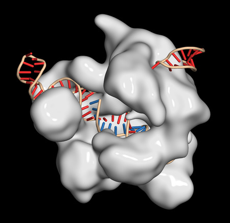 rna: CRISPR-CAS9 gene editing complex from Streptococcus pyogenes. The Cas9 nuclease protein uses a guide RNA sequence to cut DNA at a complementary site. Used in genome engineering and gene therapy. Stock Photo