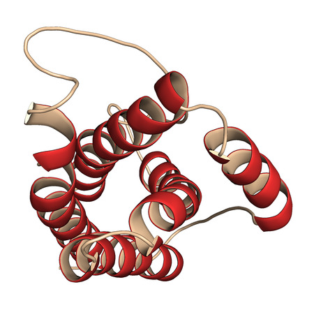 Interleukin 6 (IL-6) cytokine and myokine protein. Anti-IL-6 antibodies are used in treatment of arthritis. 3D illustration. Cartoon representation with secondary structure coloring (red helices).
