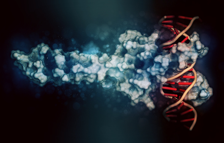 transcription: c-Myc and Max transcription factors bound to DNA. 3D illustration. Protein: cartoon + wireframe representation combined with semi-transparent surfaces. DNA: cartoon ladder model. Stock Photo