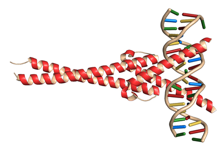 c-Myc and Max transcription factors bound to DNA. 3D illustration. Cartoon representation: protein colored red; DNA ladder model, colored per nucleobase.