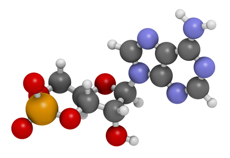monophosphate: Cyclic adenosine monophosphate (cAMP) second messenger molecule. 3D rendering. Atoms are represented as spheres with conventional color coding: hydrogen (white), carbon (grey), oxygen (red), nitrogen (blue), phosphorus (orange).