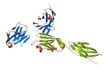 apoptosis: Programmed cell death 1 (PD-1, CD279, blue sheets) immune checkpoint protein bound to programmed death-ligand 1 (PD-L1, green sheets) protein, 3D rendering. PD-L1 is  produced by tumors to suppress the immune system. Blockers of the PD-L1 and PD-1 interac Stock Photo