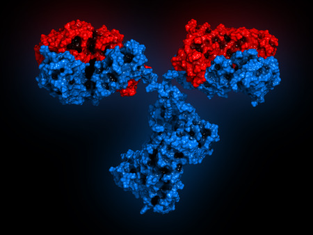 IgG2a monoclonal antibody (immunoglobulin). 3D rendering. Many biotech drugs are antibodies. Molecular surface model. Heavy chains colored blue, light chains red.