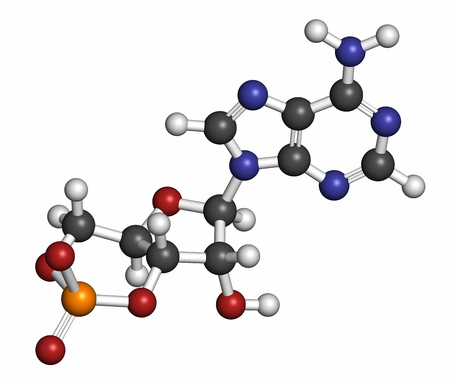 Cyclic adenosine monophosphate (cAMP) second messenger molecule, 3D rendering. Atoms are represented as spheres with conventional color coding: hydrogen (white), carbon (grey), oxygen (red), nitrogen (blue), phosphorus (orange).