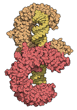 Toll-like receptor 3 (TLR3, murine, ectodomain, red & brown) protein, bound to double-stranded RNA (yellow). Involved in host defense against viruses. 3D rendering based on protein data bank entry 3ciy. Atoms shown as color-coded spheres.