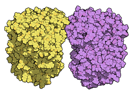 Tripeptidyl-peptidase I enzyme. Mutations in corresponding TPP1 gene lead to late infantile neuronal ceroid lipofuscinosis. Cerliponase alpha is a recombinant form of the enzyme. 3D rendering based on protein data bank entry 3ee6. Atoms shown as color-cod Banco de Imagens