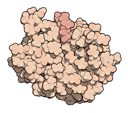 fibrosis: Galectin-3 (carbohydrate binding domain) protein, bound to N-acetyllactosamine. Thought to be involved in a number of diseases, including fibrosis, cardiovascular disease and cancer. 3D rendering based on protein data bank entry 1a3k. Atoms shown as color