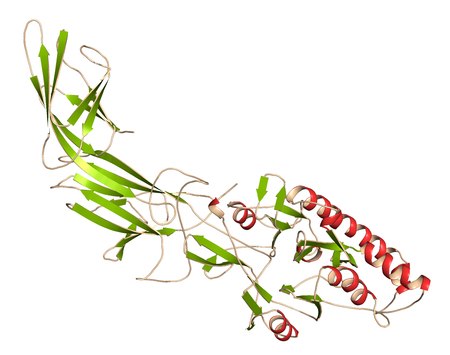Peptidylarginine deiminase 4 (PAD4, SNP variant) enzyme. Catalyzes citrullination of proteins, i.e. conversion of arginine residues to citrulline (post-translational modification). 3D rendering based on protein data bank entry 3apn. Cartoon representation