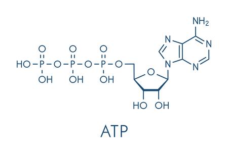 Adenosintriphosphat (ATP) Molekül. Funktionen wie Neurotransmitter, RNA-Baustein, Energieübertragungsmolekül, usw. Skelettformel.
