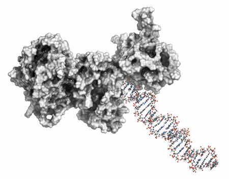 Poly (ADP-ribose) polymerase 1 (PARP-1) DNA damage detection protein. Target of cancer drug development. 3D rendering, ball & stick representation (DNA) combined with surfaces (protein).